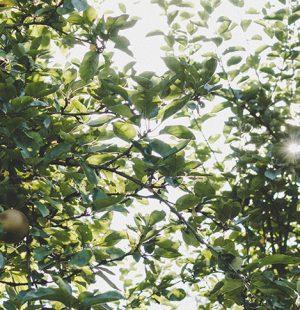Apfelbaum trägt Früchte